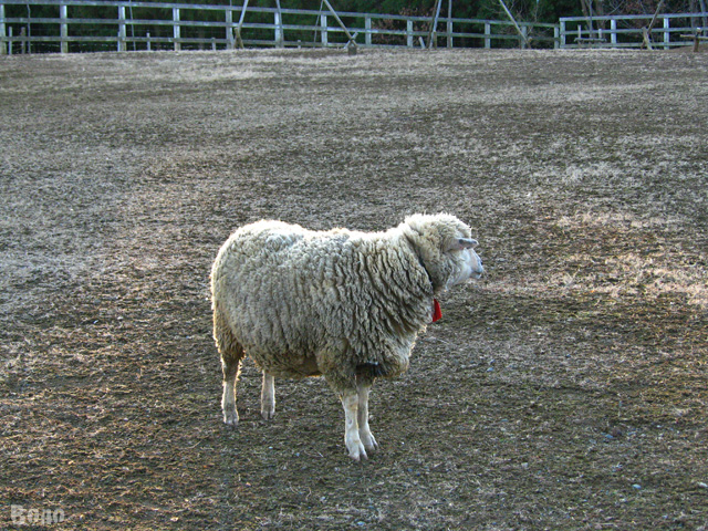 111229-sheep4.jpg