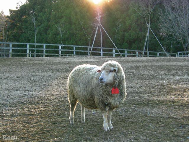 111229-sheep5.jpg